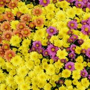 Peut-on replanter au jardin un chrysanthème fleuri en pot?