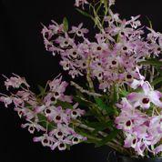 Dendrobium noble