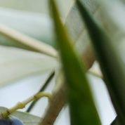 La mouche de l'olive pond-elle encore à la fin de l'automne ?