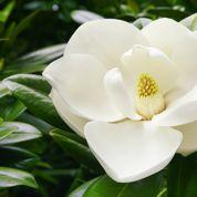 Magnolia à feuillage persistant
