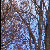 La proximité d'un saule peut-elle nuire aux arbres fruitiers?
