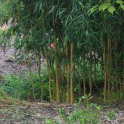 Bambou: y a-t-il des plantes pour freiner sa prolifération?