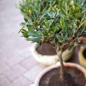 Comment protéger un olivier en pot en hiver?