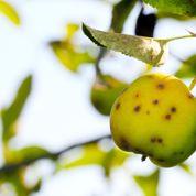 Pomme, poire: comment lutter contre la tavelure?
