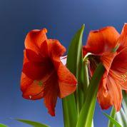 Comment faire fleurir un amaryllis?