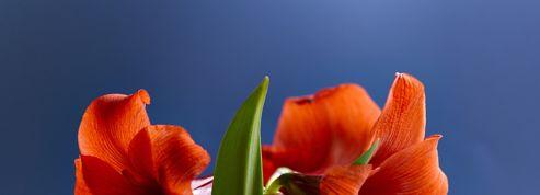 Comment faire fleurir un amaryllis - Faire refleurir un amaryllis ...
