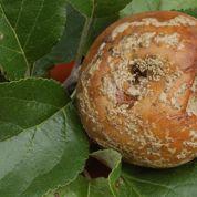 Que faire contre la moniliose du pommier ?