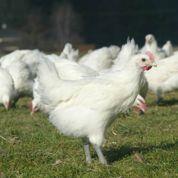 Avec la crise, la consommation de poulet recule en France