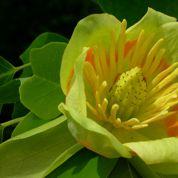 Tulipier