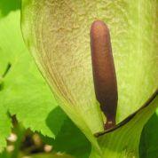 Désherbage : comment éradiquer l'arum sauvage ?