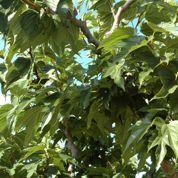 Pourquoi mon mûrier-platane perd-il ses branches ?