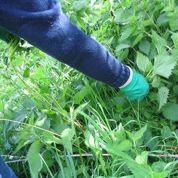 Comment se débarrasser des orties?