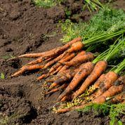 Comment obtenir de belles carottes en sol argileux?