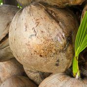Comment faire germer une noix de coco?