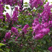 Comment multiplier les lilas?
