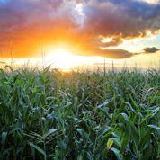 Peut-on installer son potager près d'un champ de maïs?