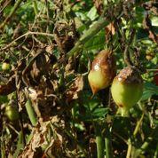 Tomate : existe-t-il des variétés résistantes au mildiou ?