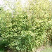 Bambou : comment ne pas être envahi ?
