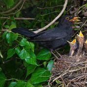 Quels arbustes à baies privilégier pour les oiseaux ?