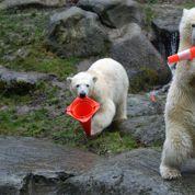 L'anniversaire des ours polaires à Munich