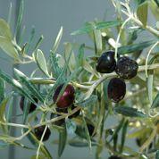 Olives véreuses: peut-on les mettre au compost?