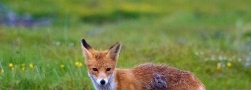 Un «sniper de renards» londonien raconte son quotidien