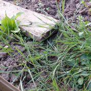 Comment éliminer les mauvaises herbes?
