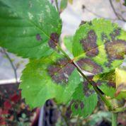 Rose: que faire contre la maladie des taches noires ?