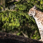 Les grands carnivores européens sont en pleine forme