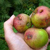 Comment ne plus récolter de pommes véreuses ?