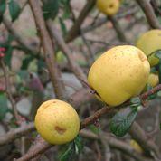 Les fruits du cognassier du Japon sont-ils comestibles ?