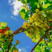 Peut-on transplanter une vigne centenaire?