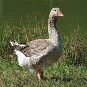 Banni durant deux ans, le foie gras fait son come-back en Californie