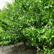 Pourquoi mes jeunes arbres fruitiers ne fleurissent-ils pas ?