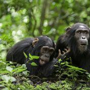 Ces grands singes qui jouent les apothicaires
