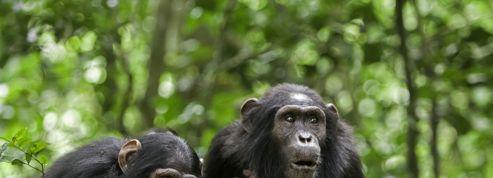 Ces grands singes des forêts tropicales qui jouent les apothicaires