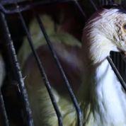 Un producteur de foie gras devant la justice pour gavage d'oie