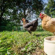Les poules sont-elles bénéfiques dans un verger ?