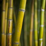 Bambous: peut-on les rabattre sans les abîmer ?
