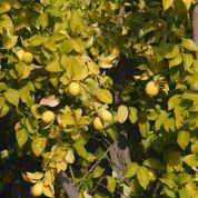 Jaunissement du citronnier : est-ce une carence en fer ?