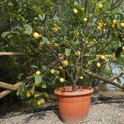 Quand et comment rempoter un citronnier?