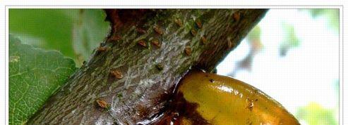 Abricotier : que faire contre la gommose ?
