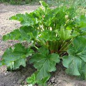 Le purin de rhubarbe est-il un bon insecticide ?