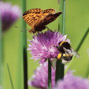 Bourdons et papillons victimes des pesticides