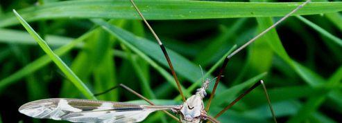 Gazon: comment venir à bout des larves de tipules ?