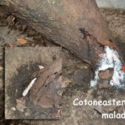 Quel est ce liquide blanc sur le tronc d'un cotoneaster?