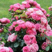 Faut-il apporter du patentkali aux rosiers?