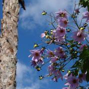 Où trouver des plants de dahlia arborescent?