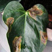 Anthurium: quelles sont ces taches noires sur les feuilles ?