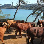 Les vaches sont de retour à Porquerolles